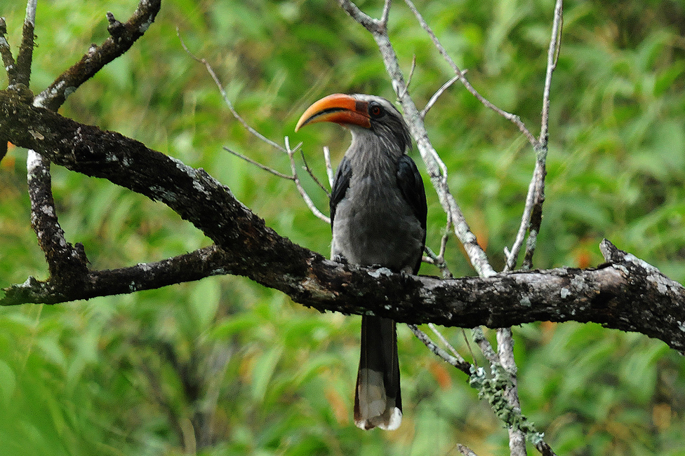 great hornbill in the forest reserve in thekkady;