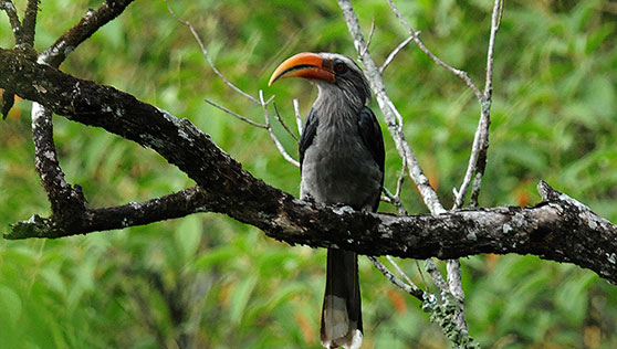 Malabar Grey hornbil at Periyar National Park Thekkady