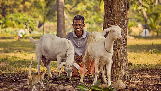 Farm goats with shepherd at beach resort Kerala