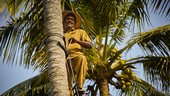 Toddy tapping near the beach on coconut trees Kerala